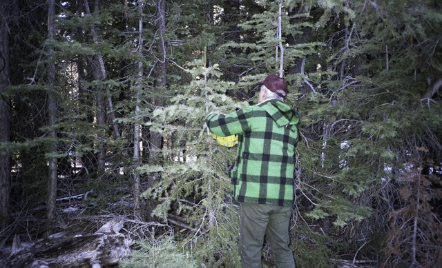 in search of the perfect tree