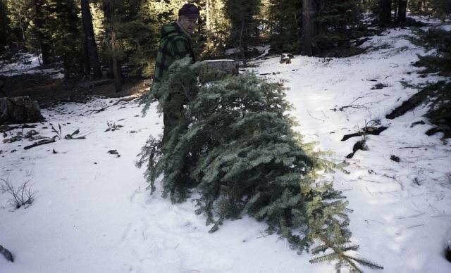 hauling the tree