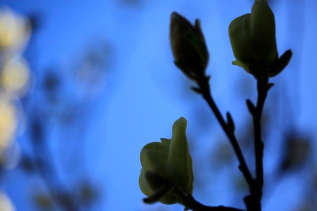 magnolia buds against a blue sky