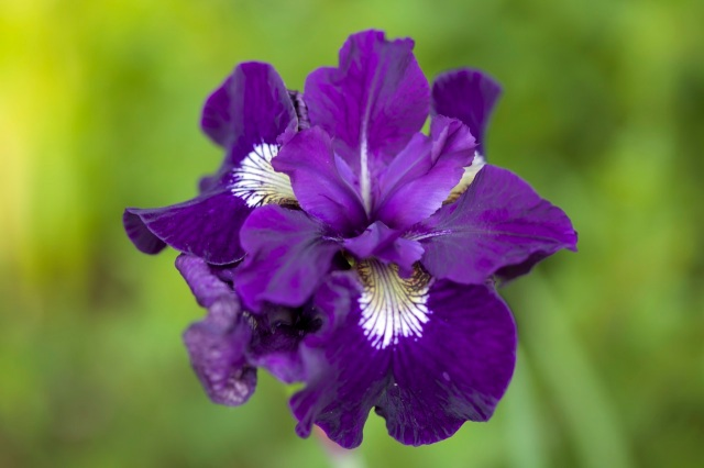 Siberian Iris in bloom