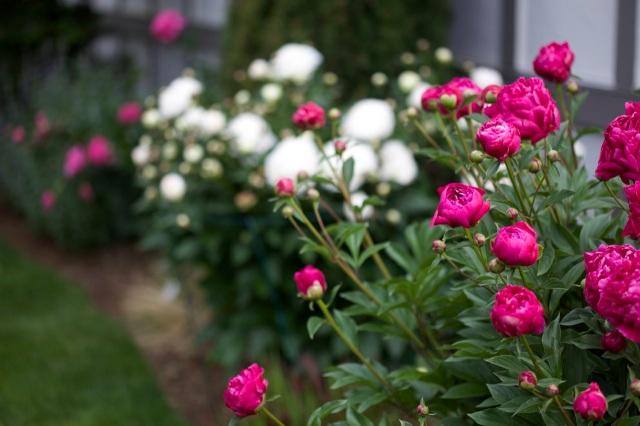 peonies: my favorite flower