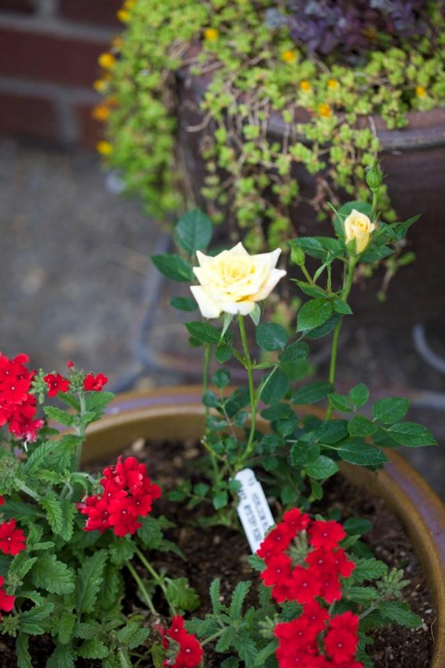 my 'free' miniature rose