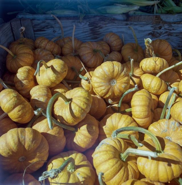 pumpkins_Hassie366