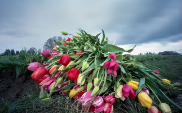 tulips_ZIpinhole282-Edit-2
