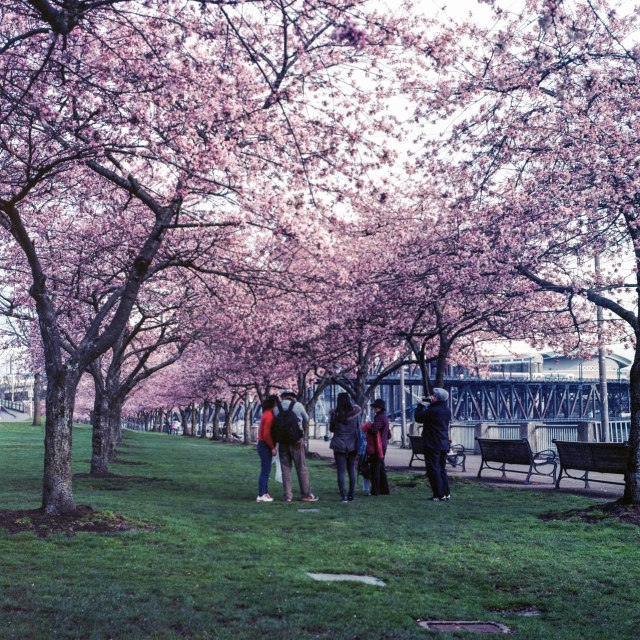 cherry trees (1 of 7)