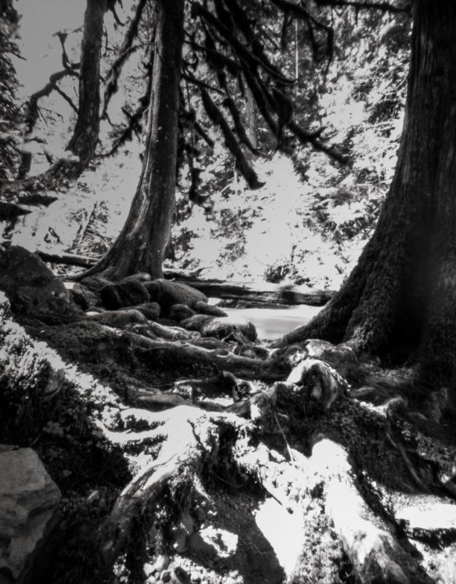 TreesofSalRiv_Titan4x5143