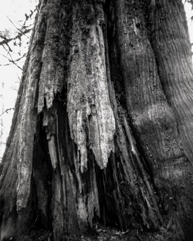 TreesofSalRiv_Titan4x5145